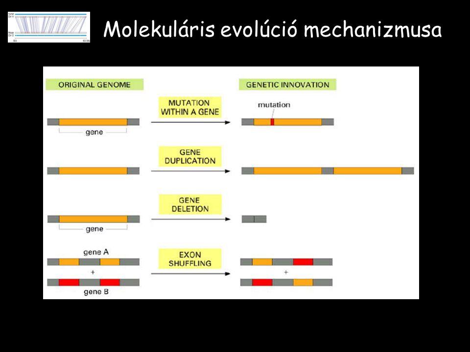Molekuláris evolúció mechanizmusa