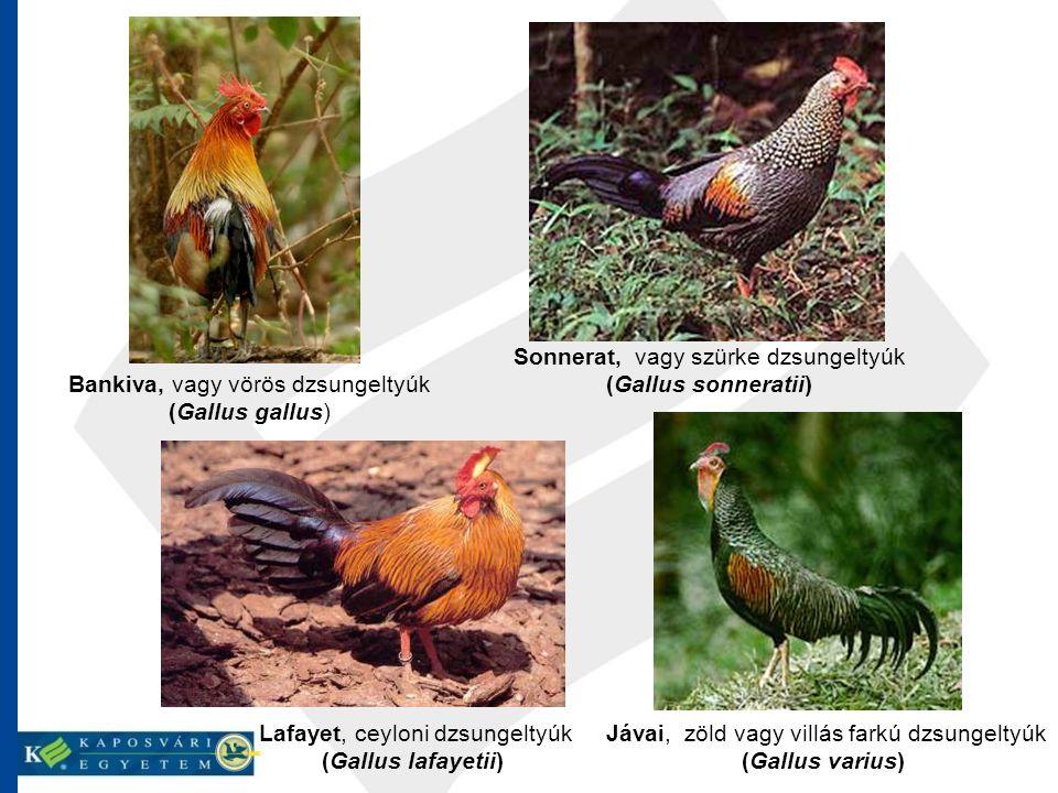Bankiva, vagy vörös dzsungeltyúk (Gallus gallus) Sonnerat, vagy szürke dzsungeltyúk (Gallus sonneratii) Lafayet, ceyloni dzsungeltyúk (Gallus lafayeti