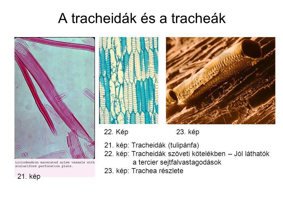 A tracheidák és a tracheák 21.kép 22. Kép 23. kép 21.