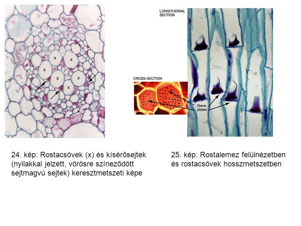 24. kép: Rostacsövek (x) és kísérősejtek (nyilakkal jelzett, vörösre színeződött sejtmagvú sejtek) keresztmetszeti képe 25. kép: Rostalemez felülnézet