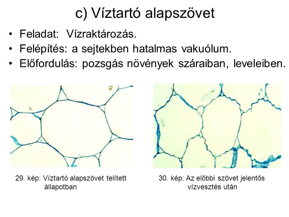 c) Víztartó alapszövet Feladat:Vízraktározás.Felépítés: a sejtekben hatalmas vakuólum.