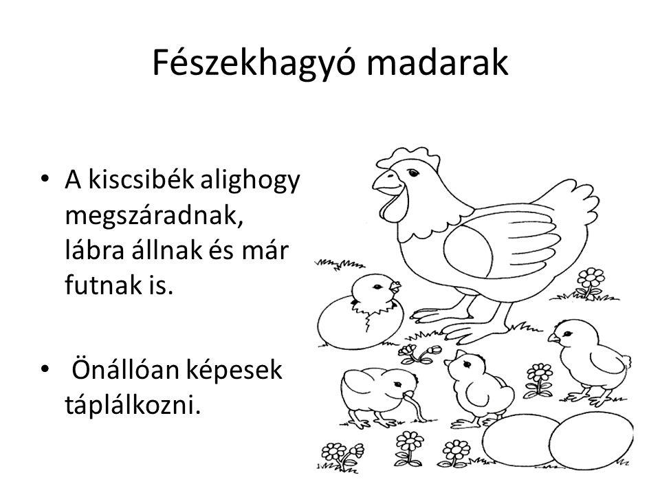 Fészekhagyó madarak A kiscsibék alighogy megszáradnak, lábra állnak és már futnak is. Önállóan képesek táplálkozni.