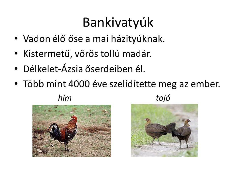 Bankivatyúk Vadon élő őse a mai házityúknak. Kistermetű, vörös tollú madár. Délkelet-Ázsia őserdeiben él. Több mint 4000 éve szelídítette meg az ember