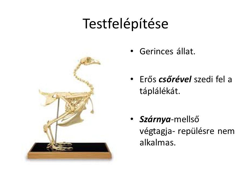 Testfelépítése Gerinces állat. Erős csőrével szedi fel a táplálékát. Szárnya-mellső végtagja- repülésre nem alkalmas.