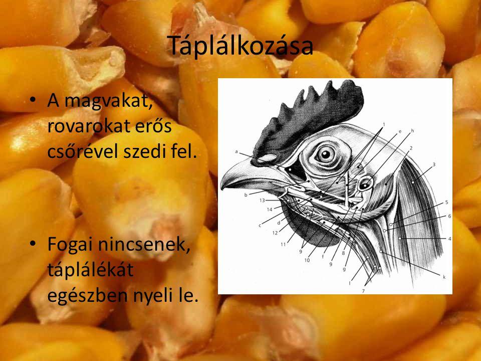 Táplálkozása A magvakat, rovarokat erős csőrével szedi fel. Fogai nincsenek, táplálékát egészben nyeli le.