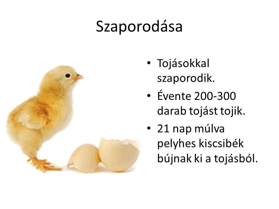 Szaporodása Tojásokkal szaporodik. Évente 200-300 darab tojást tojik. 21 nap múlva pelyhes kiscsibék bújnak ki a tojásból.