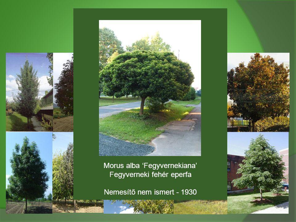 Morus alba 'Fegyvernekiana' Fegyverneki fehér eperfa Nemesítő nem ismert - 1930