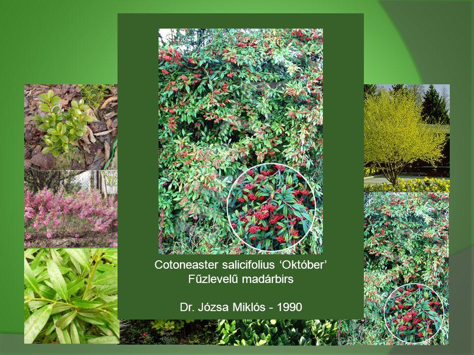 Cotoneaster salicifolius 'Október' Fűzlevelű madárbirs Dr. Józsa Miklós - 1990