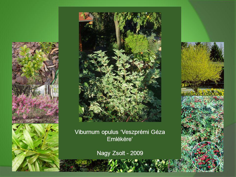 Viburnum opulus 'Veszprémi Géza Emlékére' Nagy Zsolt - 2009