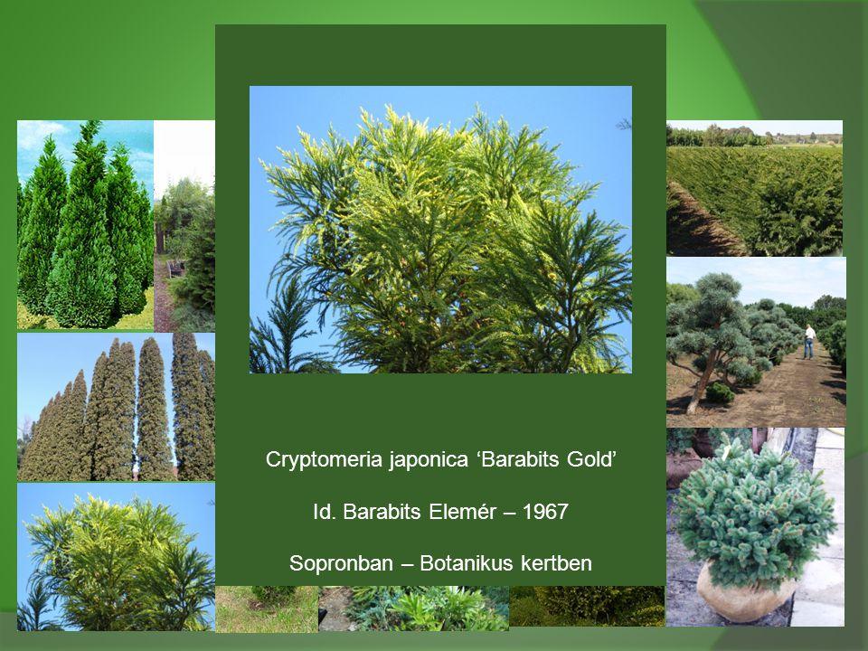 Cryptomeria japonica 'Barabits Gold' Id. Barabits Elemér – 1967 Sopronban – Botanikus kertben
