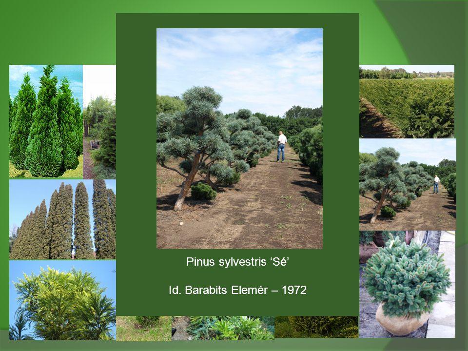Pinus sylvestris 'Sé' Id. Barabits Elemér – 1972