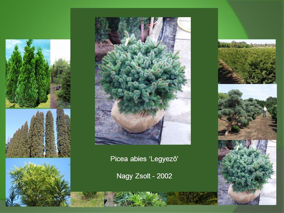 Picea abies 'Legyező' Nagy Zsolt - 2002
