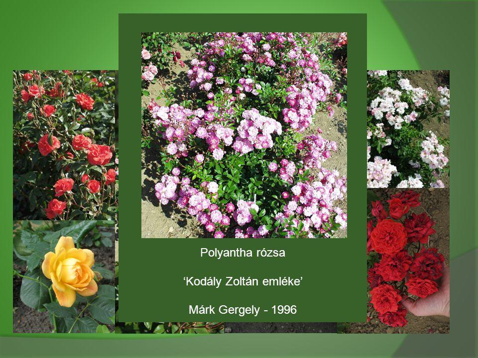 Polyantha rózsa 'Kodály Zoltán emléke' Márk Gergely - 1996