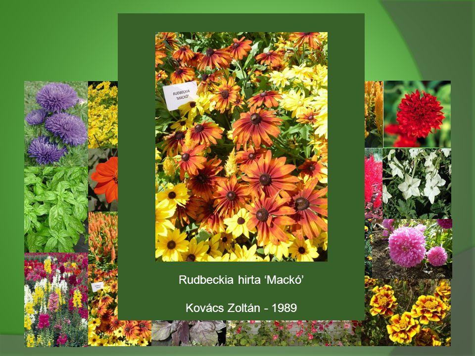 Rudbeckia hirta 'Mackó' Kovács Zoltán - 1989