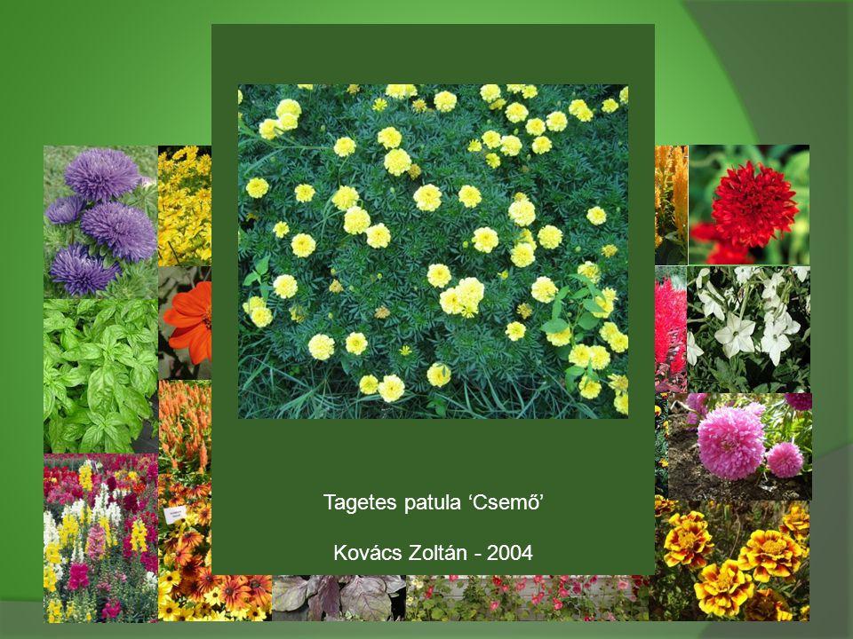 Tagetes patula 'Csemő' Kovács Zoltán - 2004