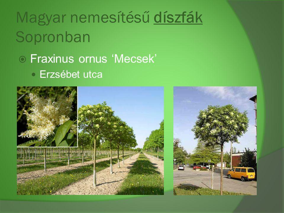 Magyar nemesítésű díszfák Sopronban  Fraxinus ornus 'Mecsek' Erzsébet utca