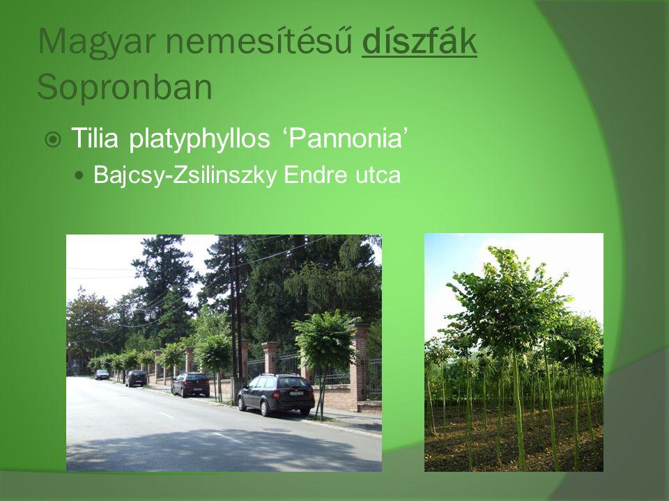 Magyar nemesítésű díszfák Sopronban  Tilia platyphyllos 'Pannonia' Bajcsy-Zsilinszky Endre utca