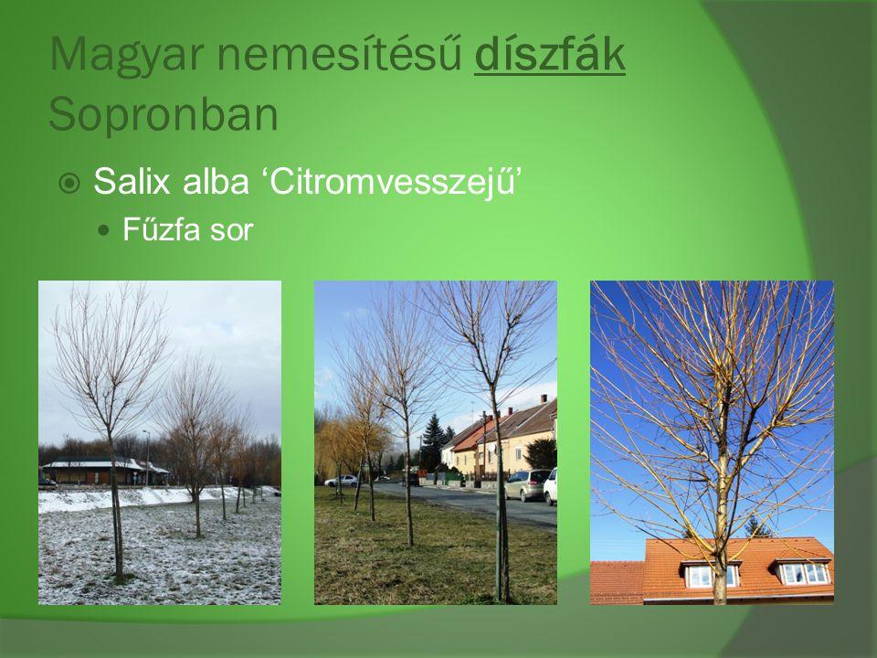 Magyar nemesítésű díszfák Sopronban  Salix alba 'Citromvesszejű' Fűzfa sor