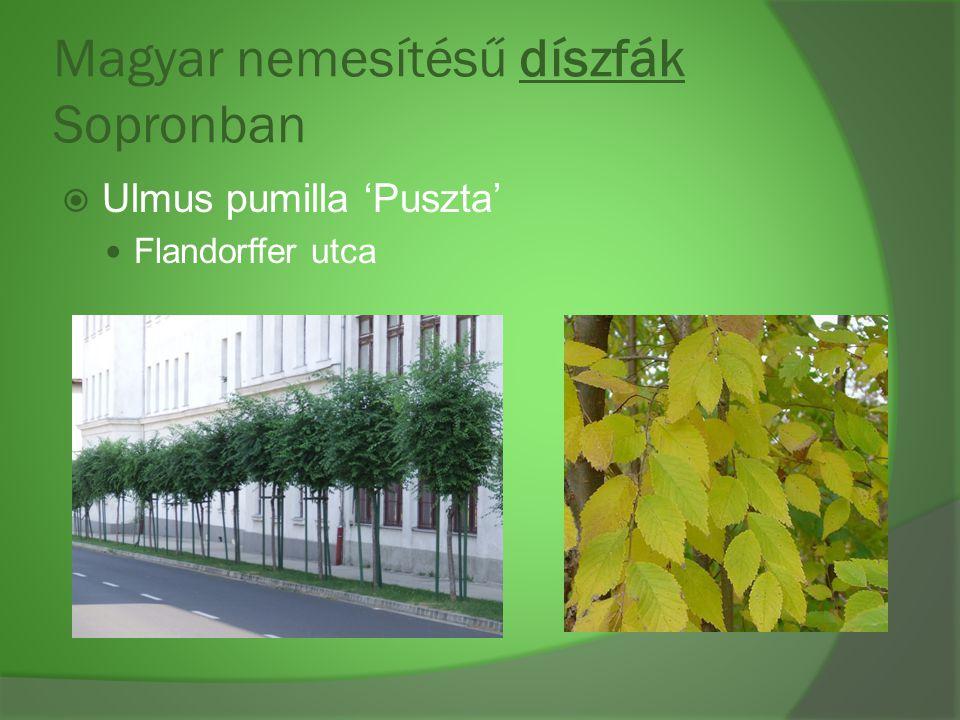 Magyar nemesítésű díszfák Sopronban  Ulmus pumilla 'Puszta' Flandorffer utca