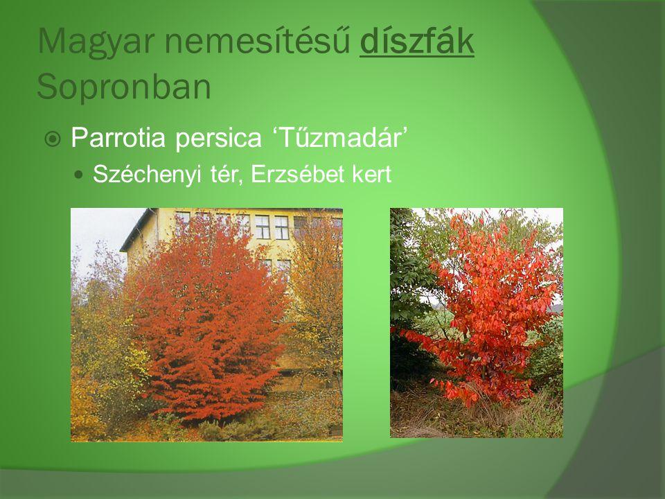 Magyar nemesítésű díszfák Sopronban  Parrotia persica 'Tűzmadár' Széchenyi tér, Erzsébet kert
