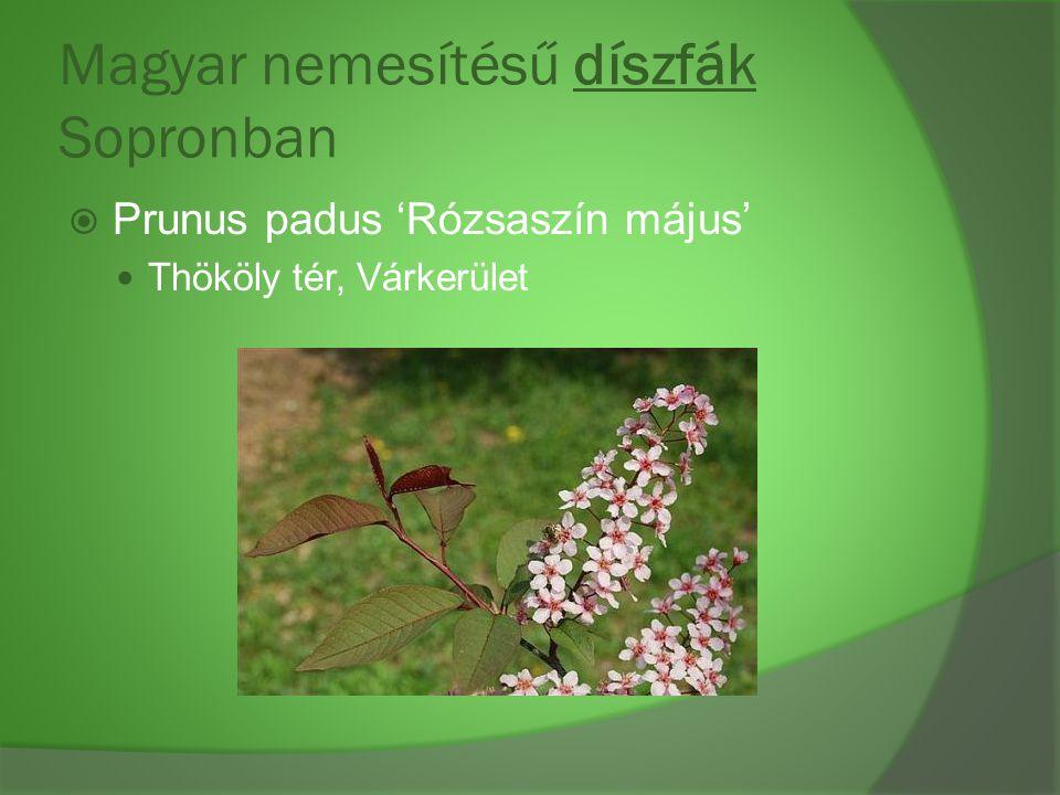 Magyar nemesítésű díszfák Sopronban  Prunus padus 'Rózsaszín május' Thököly tér, Várkerület