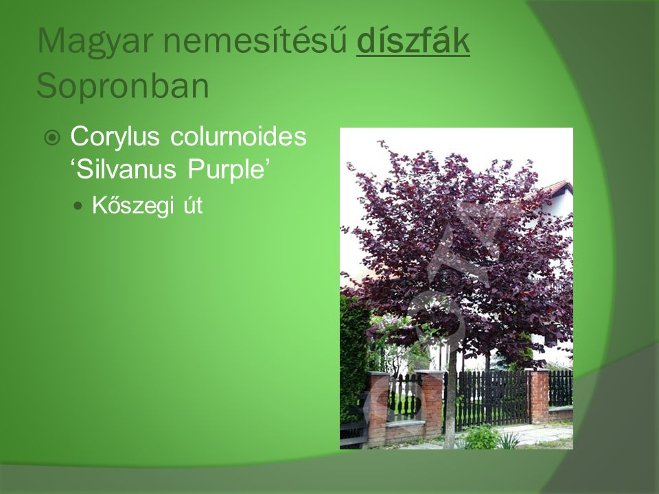 Magyar nemesítésű díszfák Sopronban  Corylus colurnoides 'Silvanus Purple' Kőszegi út
