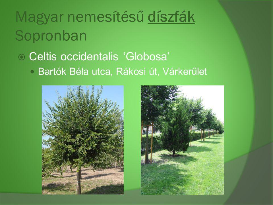 Magyar nemesítésű díszfák Sopronban  Celtis occidentalis 'Globosa' Bartók Béla utca, Rákosi út, Várkerület