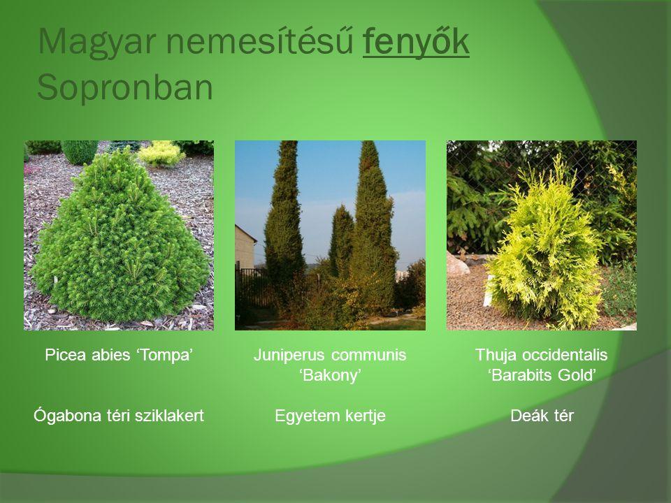 Magyar nemesítésű fenyők Sopronban Picea abies 'Tompa' Ógabona téri sziklakert Juniperus communis 'Bakony' Egyetem kertje Thuja occidentalis 'Barabits