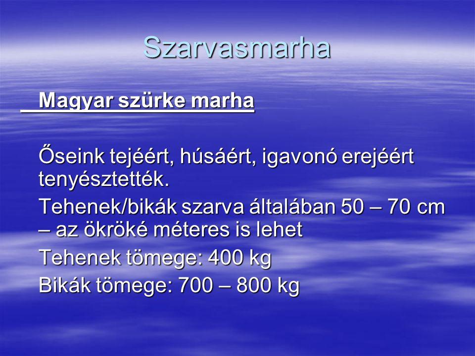 Szarvasmarha Magyar szürke marha Őseink tejéért, húsáért, igavonó erejéért tenyésztették. Tehenek/bikák szarva általában 50 – 70 cm – az ökröké métere