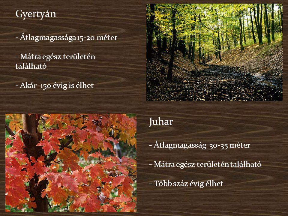 Gyertyán - Átlagmagassága 15-20 méter - Mátra egész területén található - Akár 150 évig is élhet Juhar - Átlagmagasság 30-35 méter - Mátra egész terül