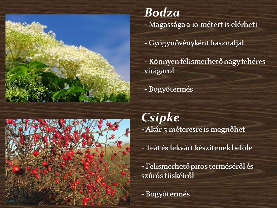Bodza - Magassága a 10 métert is elérheti - Gyógynövényként használjál - Könnyen felismerhető nagy fehéres virágáról - Bogyótermés Csipke - Akár 5 mét