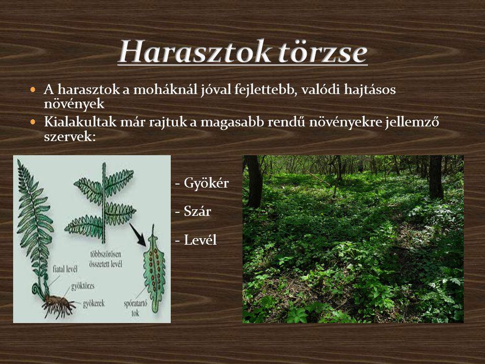 A harasztok a moháknál jóval fejlettebb, valódi hajtásos növények Kialakultak már rajtuk a magasabb rendű növényekre jellemző szervek: - Gyökér - Szár