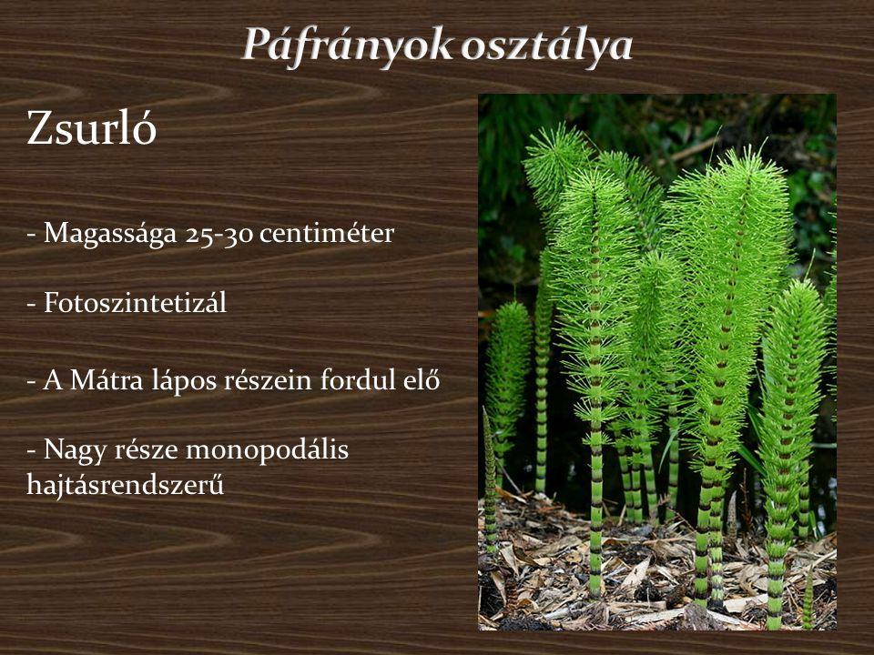 - Elérheti a másfél métert is - Felhasználható gyógynövényként - Előfordul üde talajú lomb erdőkben - Spórákkal szaporodik