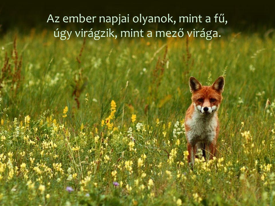 Az ember napjai olyanok, mint a fű, úgy virágzik, mint a mező virága.