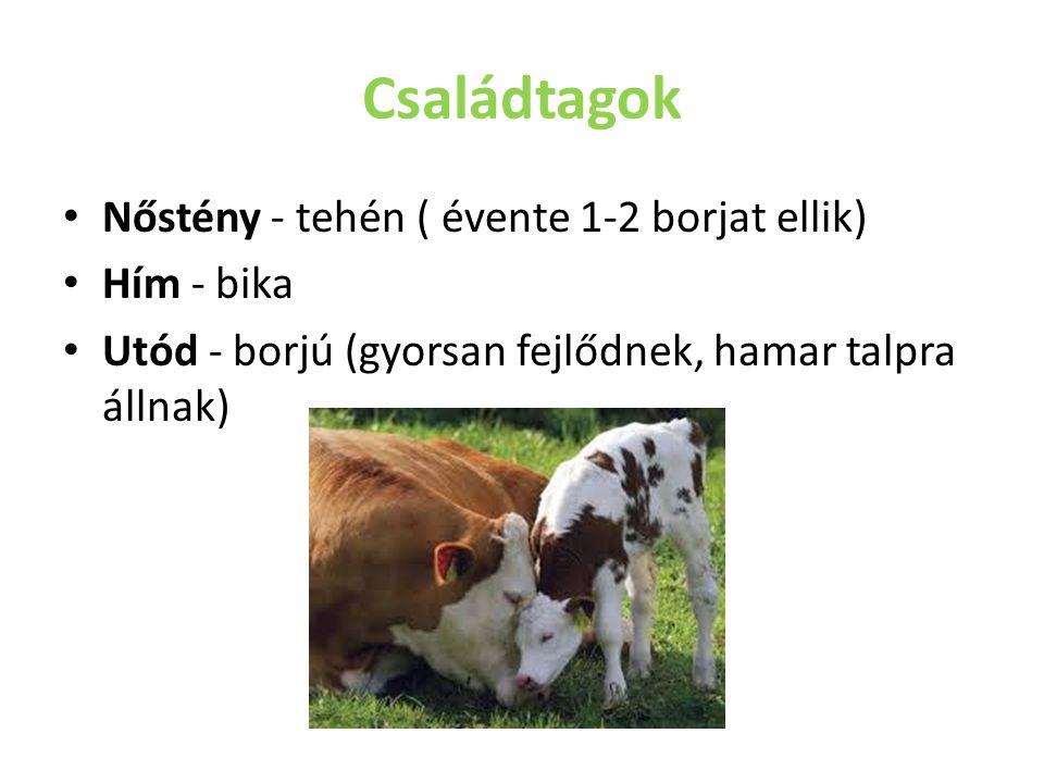 Családtagok Nőstény - tehén ( évente 1-2 borjat ellik) Hím - bika Utód - borjú (gyorsan fejlődnek, hamar talpra állnak)