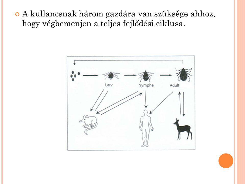A kullancsnak három gazdára van szüksége ahhoz, hogy végbemenjen a teljes fejlődési ciklusa.
