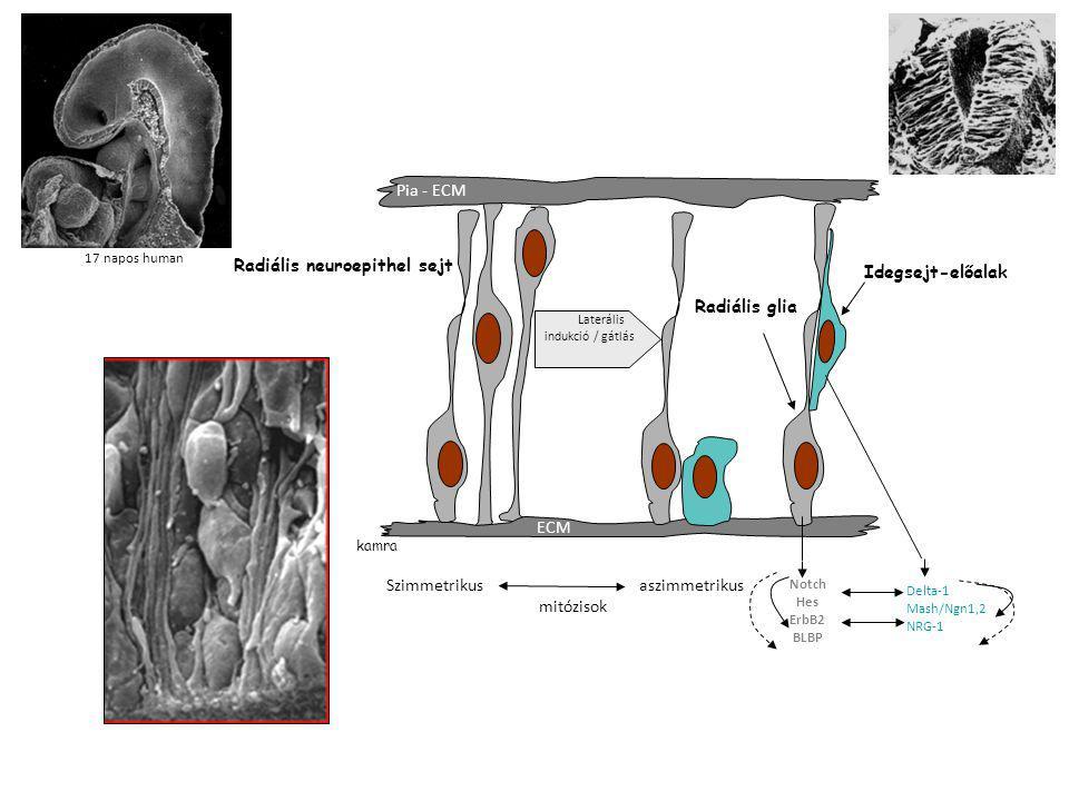 kamra Pia - ECM Radiális glia Radiális neuroepithel sejt ECM Idegsejt-előalak Laterális indukció / gátlás Szimmetrikus aszimmetrikus mitózisok Notch H
