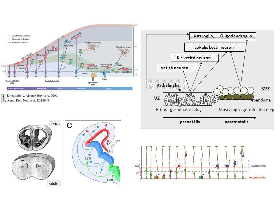 Primér germinatív réteg Másodlagos germinatív réteg prenatálisposztnatális Vetítő neuron Kis vetítő neuron Lokális közti neuron Asztroglia, Oligodendr