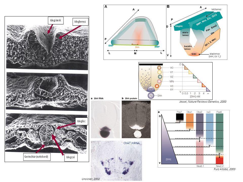 Jessel, Nature Reviews Genetics, 2000 ChAT mRNA Unsicker, 2002 Ruiz Altaba, 2003