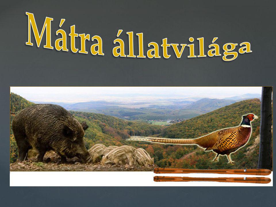 A Mátra változatos vegetációjához fajgazdag állatvilág kapcsolódik.