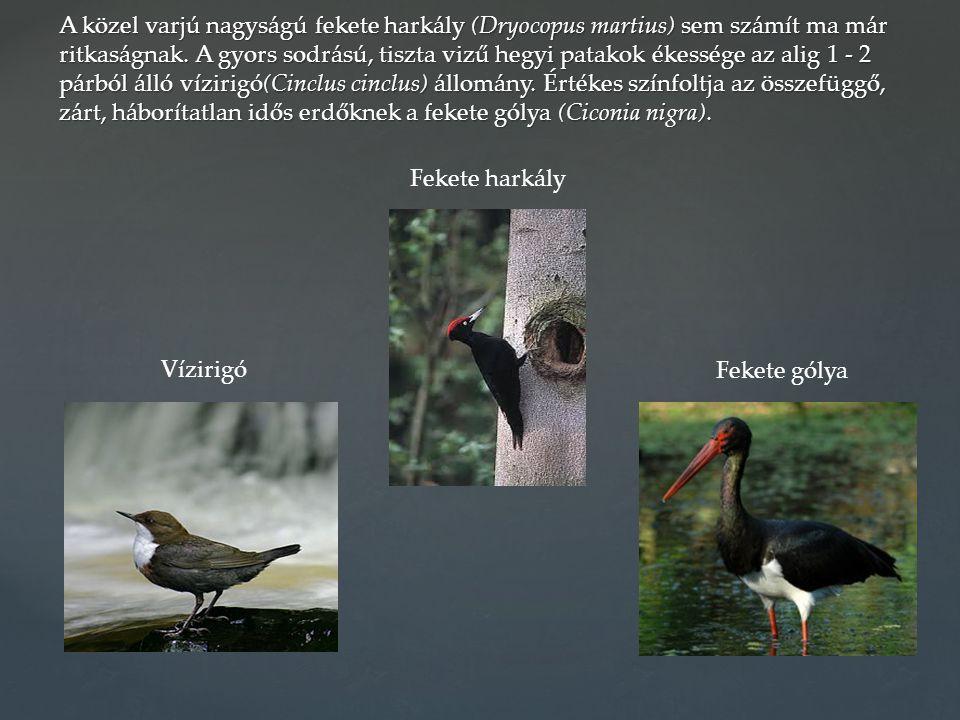 A közel varjú nagyságú fekete harkály (Dryocopus martius) sem számít ma már ritkaságnak. A gyors sodrású, tiszta vizű hegyi patakok ékessége az alig 1