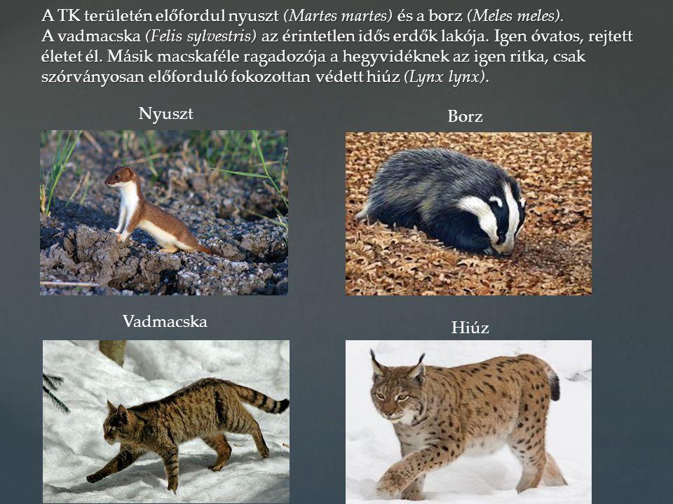 A TK területén előfordul nyuszt (Martes martes) és a borz (Meles meles). A vadmacska (Felis sylvestris) az érintetlen idős erdők lakója. Igen óvatos,