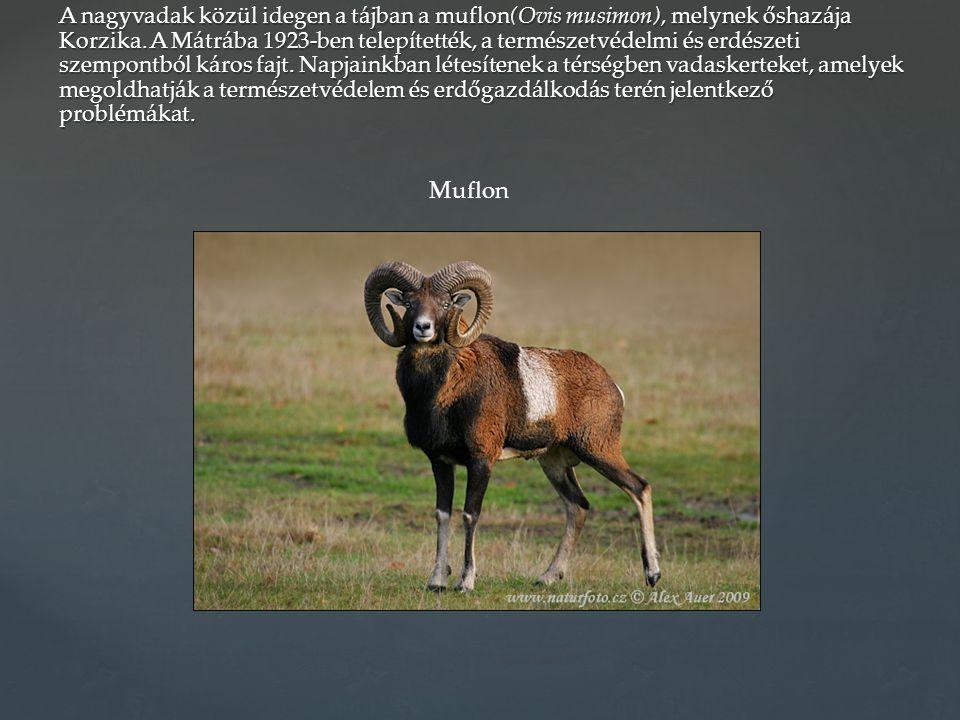 A nagyvadak közül idegen a tájban a muflon(Ovis musimon), melynek őshazája Korzika. A Mátrába 1923-ben telepítették, a természetvédelmi és erdészeti s