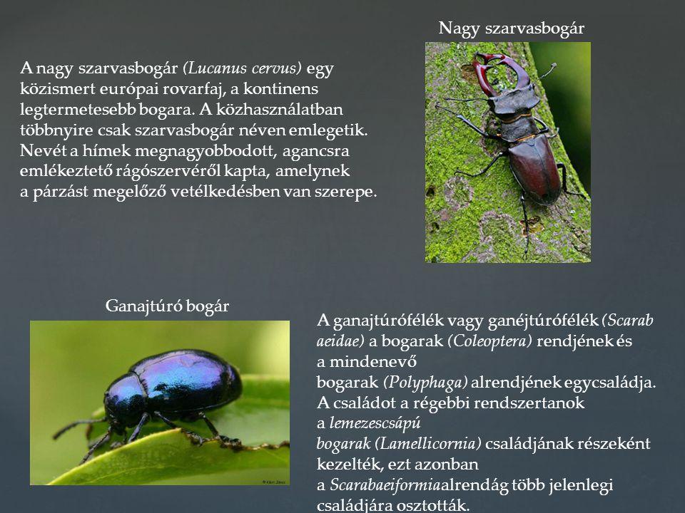 A nagy szarvasbogár (Lucanus cervus) egy közismert európai rovarfaj, a kontinens legtermetesebb bogara. A közhasználatban többnyire csak szarvasbogár