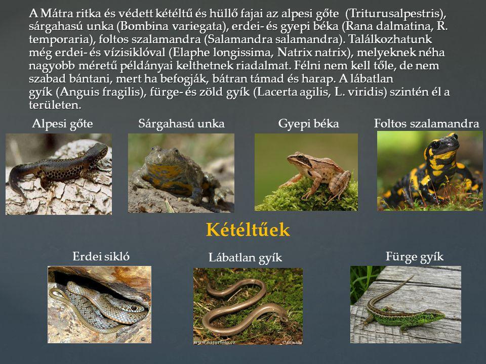 A Mátra ritka és védett kétéltű és hüllő fajai az alpesi gőte (Triturusalpestris), sárgahasú unka (Bombina variegata), erdei- és gyepi béka (Rana dalm