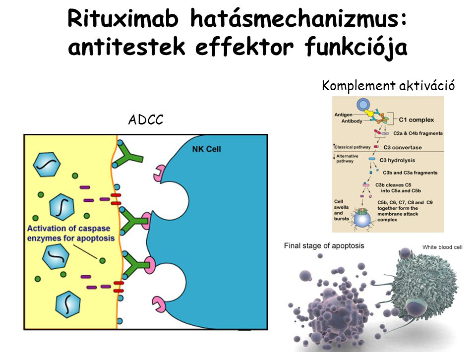 Rituximab hatásmechanizmus: antitestek effektor funkciója Komplement aktiváció ADCC