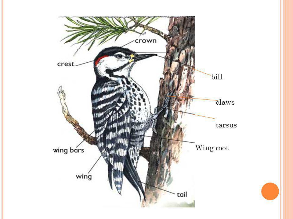 bill claws tarsus w Wing root