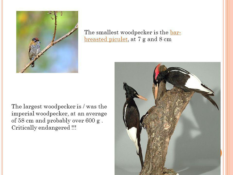 The smallest woodpecker is the bar- breasted piculet, at 7 g and 8 cmbar- breasted piculet The largest woodpecker is / was the imperial woodpecker, at an average of 58 cm and probably over 600 g.