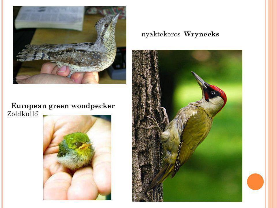nyaktekercs Wrynecks European green woodpecker Zöldküllő