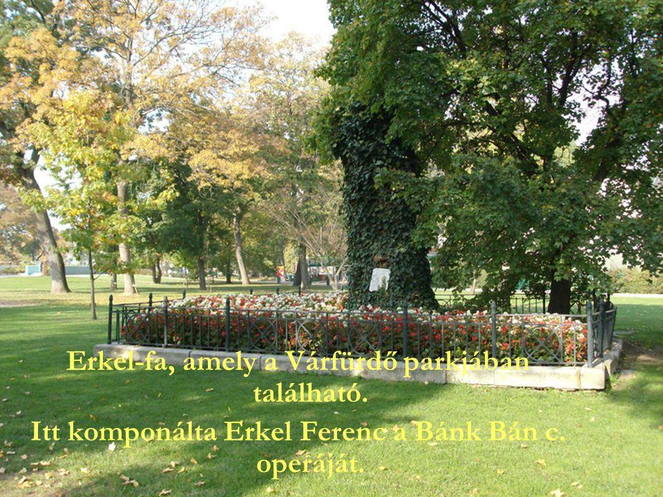 Erkel-fa, amely a Várfürdő parkjában található. Itt komponálta Erkel Ferenc a Bánk Bán c. operáját.